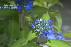 平成29年度 山アジサイ展示会