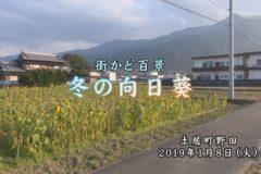 街かど:冬の向日葵