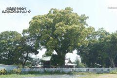 地域遺産:八幡大神社のクスノキ