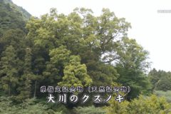 地域遺産:大川のクスノキ