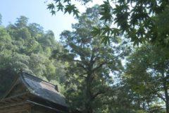地域遺産:奥之院の大杉