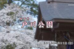 桜百景 戸川公園