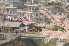 桜百景2019 向山公園
