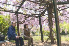 花が見頃です 堤あじさい園の藤棚・五智院の牡丹