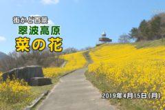 街かど百景:翠波高原 菜の花