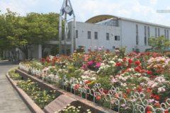 伊予三島運動公園 バラ見頃迎える