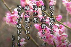 花ごよみ 梅【三野石守(みののいしもり)】