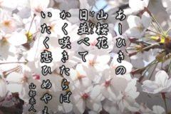 花ごよみ 桜【山部赤人(やまべのあかひと)】