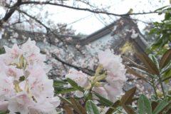 土居神社でシャクナゲが見頃
