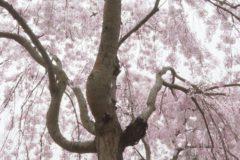 桜百景2020 新長谷寺 しだれ桜