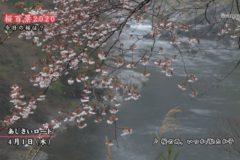 桜百景2020 今日の桜は? 3月31日、4月1日の桜