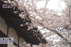 桜百景 今日の桜は? 4月3日