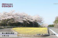桜百景 今日の桜は? 4月2日②