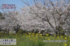 桜百景 今日の桜は? 4月2日①