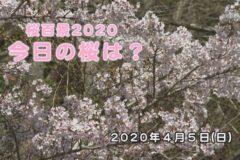 桜百景2020今日の桜は? 4月5日の桜