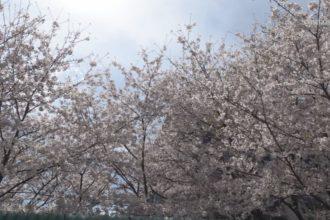 市内の桜が見頃