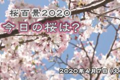 桜百景 今日の桜は? 4月7日