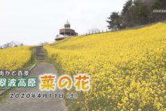 翠波高原 菜の花