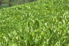 街かど:新宮茶摘み