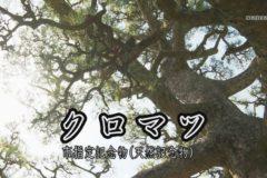 地域遺産:持福寺 クロマツ