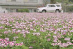 街かど:レンゲ畑