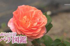 街かど百景:バラ図鑑