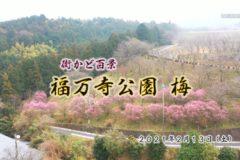 街かど:福万寺公園 梅