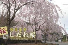 桜百景:新長谷寺 しだれ桜