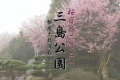 桜百景2021 三島公園ー磐座太鼓保存会ー