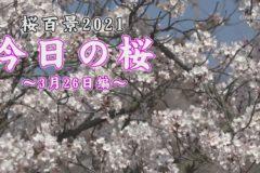 桜百景2021 今日の桜~3月26日編~
