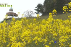 街かど:翠波高原 菜の花
