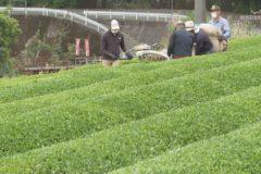 新宮町 一番茶の収穫始まる