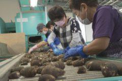 「伊予美人」順調な出来栄え 市内でサトイモの出荷始まる
